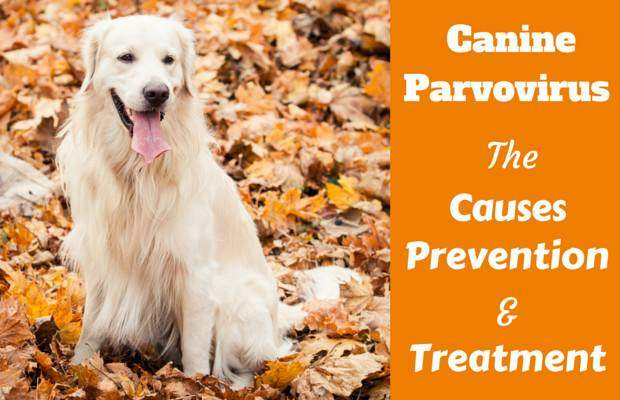 Parvovirus in dogs: A golden retriever sitting on autumnal leaves facing camera