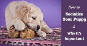 How to socialize a puppy written beside a golden retriever puppy chewing a wicker basket
