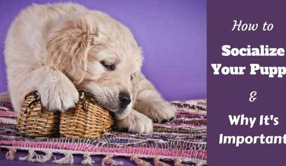 How to socialize a puppy written beside a golden retriever puppy chewing a wicker basket