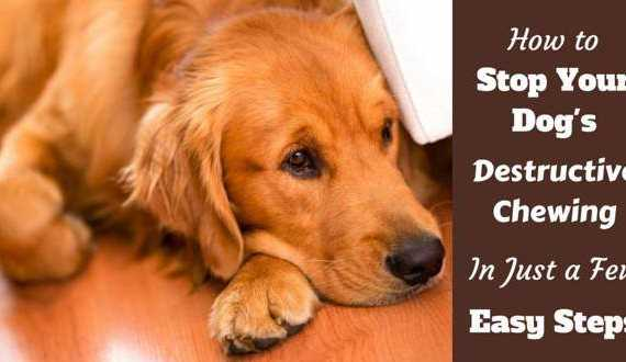 Stop destructive chewing written beside a rd-ish golden retriever laying on a wooden floor