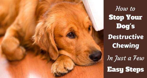 Stop destructive chewing written beside a rd-ish golden retriever laying on a wooden floor