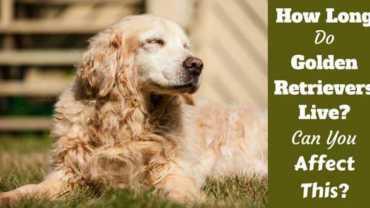 How long do golden retrievers live written beside an elderly golden lying on grass