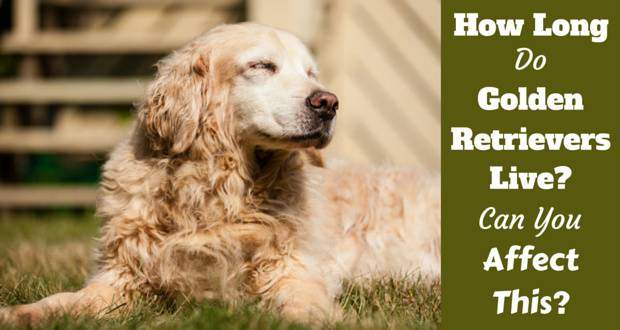 How long do golden retrievers live written beside an elderly golden lying on grass