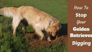 How to stop your golden retriever digging written beside a golden digging a lawn