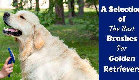 Best dog brush for golden retrievers written beside one being groomed