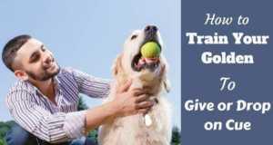 How to train your golden to give or drop written beside a man trying to get a tennis ball from a golden retriever
