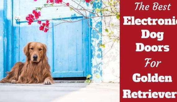 Best electronic doggie doors for golden retrievers written beside one laying in front of a blue door