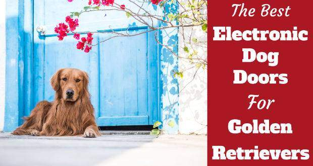 Best electronic doggie doors for golden retrievers written beside one laying in front of a blue door