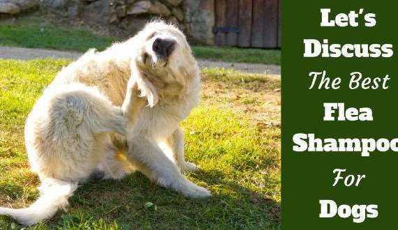 Best flea shampoo for dogs written beside a golden retriever having a scratch