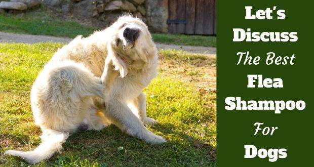 Best flea shampoo for dogs written beside a golden retriever having a scratch