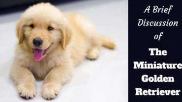 The Miniature Golden Retriever written beside a golden retriever puppy lying on a white blanket