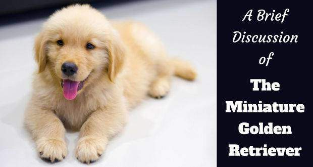 The Miniature Golden Retriever Small