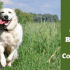 Train golden retriever to come when called written beside a golden running toward camera on grass