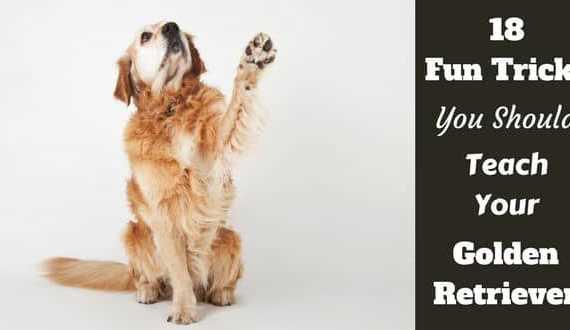 Golden retriever raising their paw, waving, as a fun trick