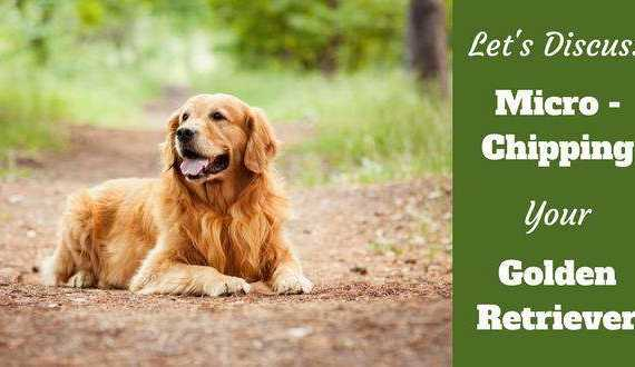 A darkish red golden retriever laying on a forest path