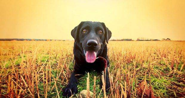 Black Golden Retriever Same Adorable Breed With A Strikingly