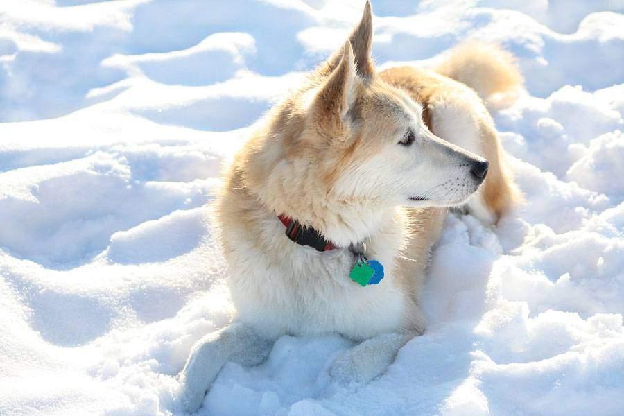 The Golden Retriever Husky Mix A K A The Fluffy Goberian