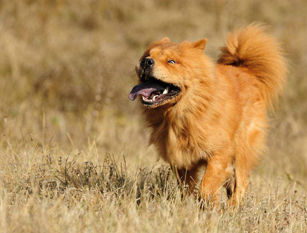 Golden Chow Dog: Golden Retriever and Chow Chow Mix - Totally Goldens