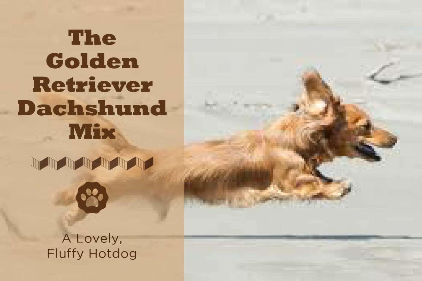 golden retriever and weiner dog