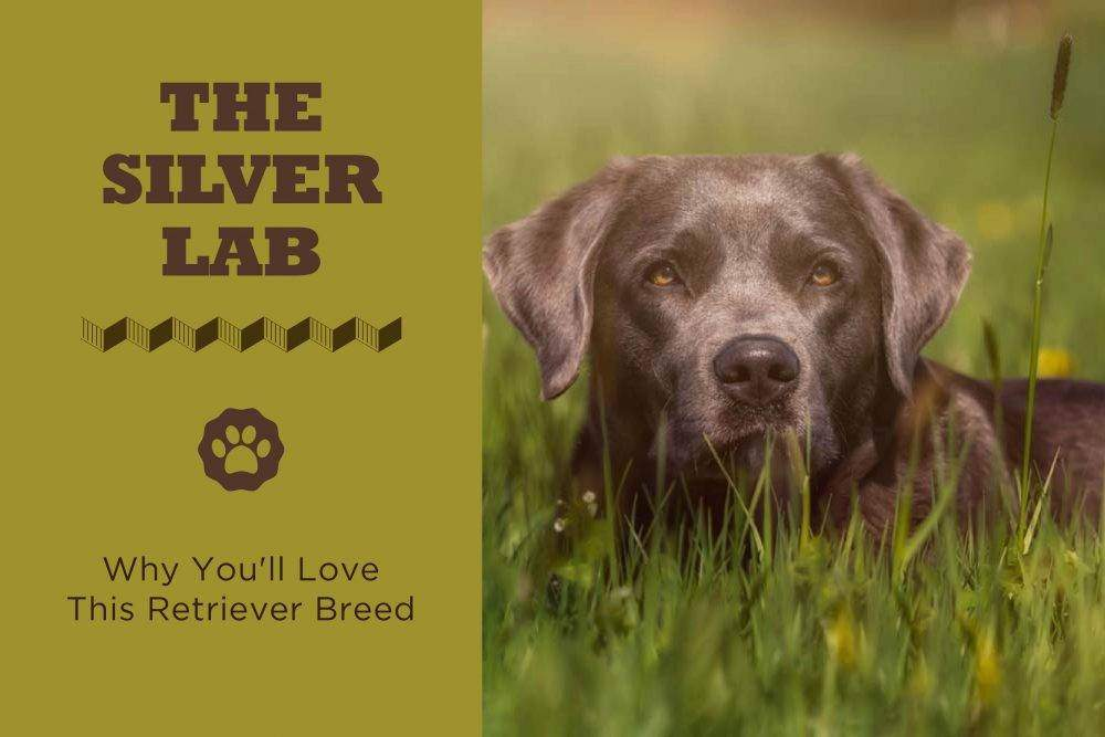The Silver Lab Puppies Facts