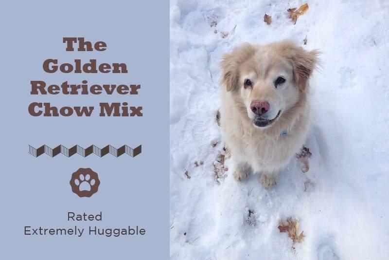 golden retriever mix