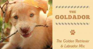 Types Of Golden Retrievers Variations Of Awesomeness