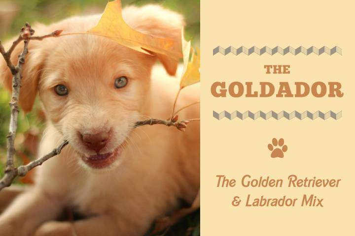 The Goldador The Awesome Golden And Labrador Retriever Mix