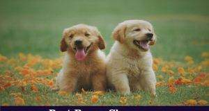 What is The Best Age To Bring A Golden Retriever Puppy Home