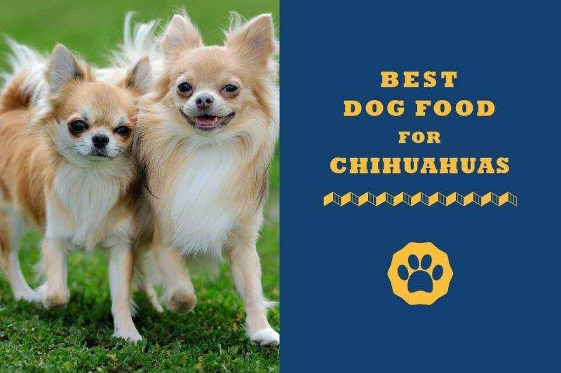 best dog food for chihuahuas