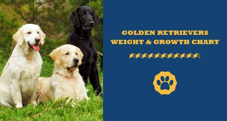 golden retrievers weight and growth chart