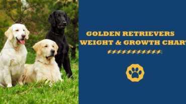 golden retriever weight and growth chart