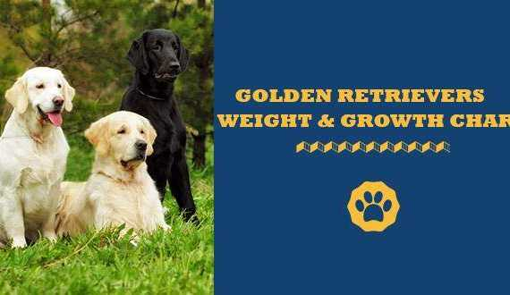 golden retriever weight and growth chart