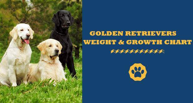 Golden Retriever Weight And Growth