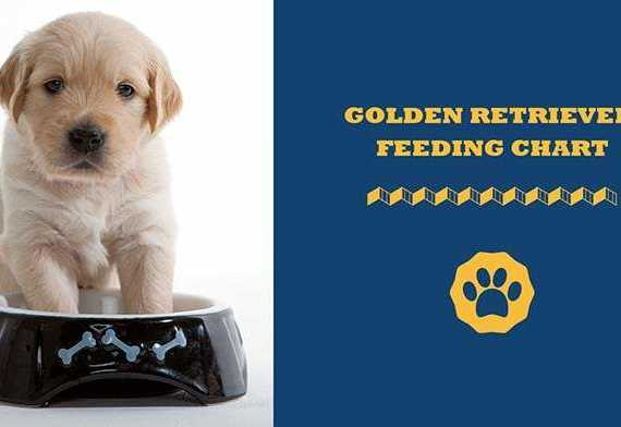golden retriever feeding chart
