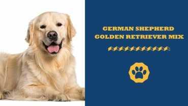 german shepherd golden retriever mix