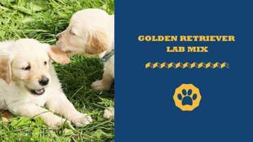 golden retriever lab mix