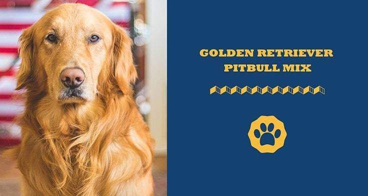 golden retriever pitbull mix