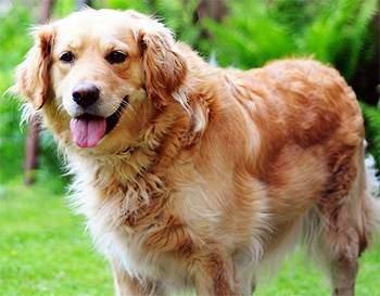 golden retriever and pitbull mix