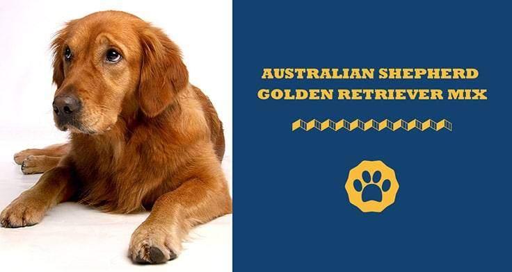 australian shepherd golden retriever mix