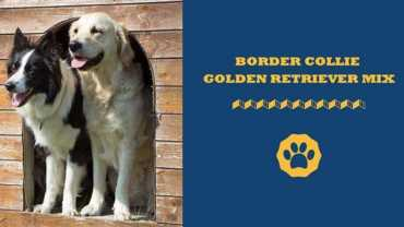 border collie golden retriever mix