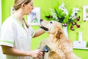 Caring For Female Golden Retrievers