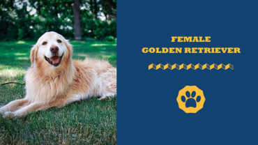 female golden retriever