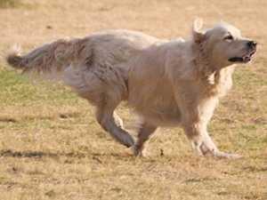 How Fast Can A Golden Retriever Run?