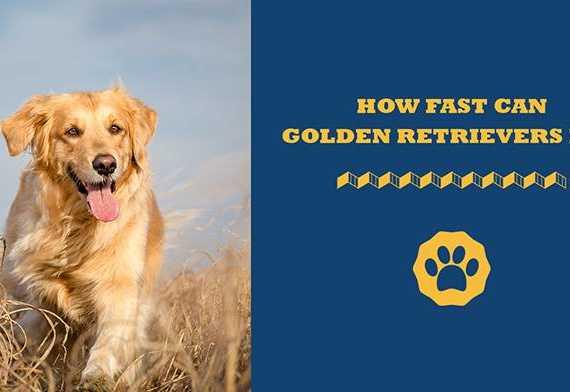 how fast can golden retrievers run