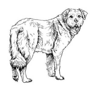 How To Draw A Golden Retriever Step-By-Step : Step Six
