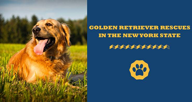golden retriever rescues in states/New York