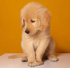 Best Golden Retriever Names For Male Puppies