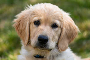 At What Age Should Golden Retrievers Be Fixed?
