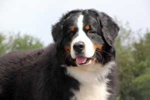Bernese Mountain Dog And Golden Retriever Coat And Color