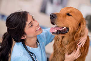 Bernese Mountain Dogs vs Golden Retrievers Grooming Needs